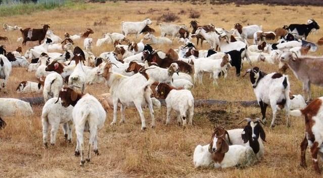 google-goats